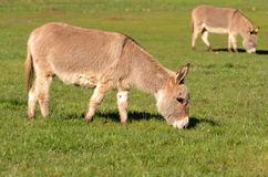 Miniature Donkey Royalty Free Stock Photography