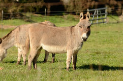 Miniature Donkey Royalty Free Stock Images