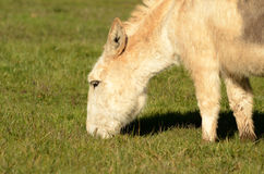 Miniature Donkey Stock Photography