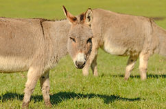 Miniature Donkey Stock Photo