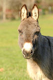 Miniature Donkey Stock Photos