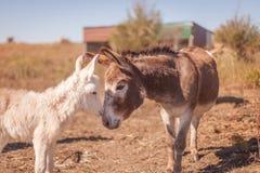 Miniature donkey love Stock Photo