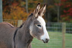 Miniature Donkey Royalty Free Stock Photo