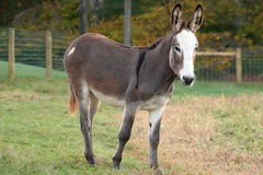 Miniature Donkey Standing in Pasture Stock Image