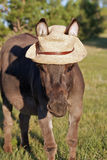 Miniature donkey with Straw Hat Stock Image