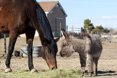 Miniature donkey and Thoroughbred horse. Miniature donkey weanling and Thoroughbred gelding eat together Royalty Free Stock Photo