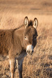 Miniature donkey Stock Images