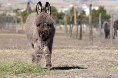 Miniature donkey weanling. A frontal shot of a weanling miniature donkey Stock Images