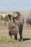 Miniature donkey weanling Royalty Free Stock Photo