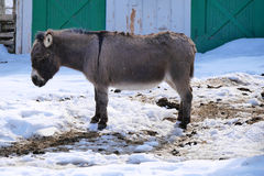 Miniature Donkey in Winter Stock Images