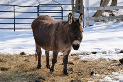 Miniature Donkey in Winter Stock Photography