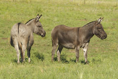 Miniature Donkeys Royalty Free Stock Images