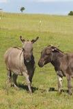 Miniature Donkeys. Mediterranean miniature donkeys standing in a pasture Stock Photography