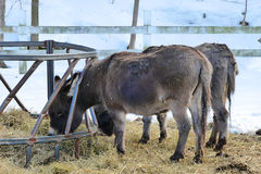 Miniature Donkeys Feeding In Winter Stock Images