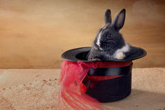Miniature Dutch rabbit in a magic hat. foci Stock Photos