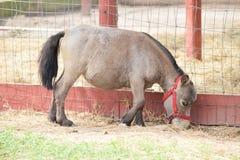 Miniature Dwarf Pony Royalty Free Stock Photo