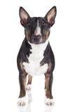 Miniature english bull terrier dog Stock Photography