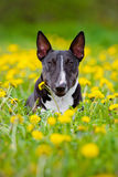 Miniature english bull terrier dog in dandelions field Stock Photo