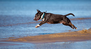 Miniature english bull terrier dog jumps above water royalty free stock photo