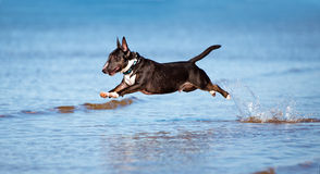 Miniature english bull terrier dog jumps above water Stock Photo