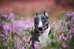 Miniature english bull terrier dog posing in heather flowers. Black miniature english bull terrier dog portrait in heather royalty free stock image