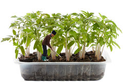 Miniature farmer in a tomato nursery Royalty Free Stock Images