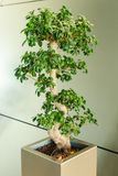 Miniature ficus tree - bonsai Japanese traditional art Stock Image