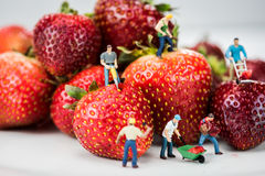 Miniature Figures Doing Construction Work on Strawberries Royalty Free Stock Photos