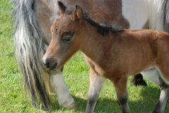 Miniature Foal Royalty Free Stock Image