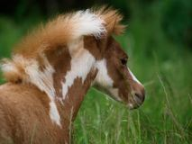 Miniature Foal. A miniature foal stand in a meadow of long grass Stock Photo