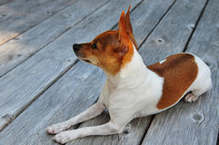 Miniature Fox Terrier Royalty Free Stock Photography