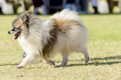 Miniature German Spitz Royalty Free Stock Photo