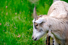 Miniature goat Stock Photo