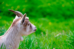 Miniature goat Stock Images
