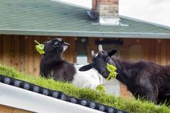 Cameroon mini goats on the roof eat fresh vine leaves. Miniature goats do not need additional food if they have grass or a variety of plants. It is good to eat stock images