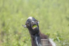 Cameroon mini goat chews green apple against the background of green grass. Miniature goats do not need additional food if they have grass or a variety of royalty free stock photo