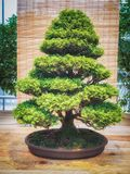 Miniature green bonsai tree in iterior. chamaecyparis obtusabonsai. Japanese bonsai Royalty Free Stock Photos