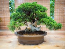 Miniature green bonsai tree in iterior. juniper bonsai. Japanese bonsai Royalty Free Stock Photography