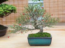Miniature green bonsai tree in iterior. juniper bonsai. Japanese bonsai Stock Photography