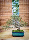 Miniature green bonsai tree in iterior. juniper bonsai. Japanese bonsai Stock Photo