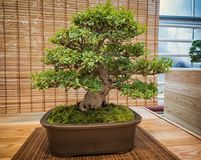 Miniature green bonsai tree in iterior. rhododendron bonsai.  Stock Image
