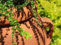 Miniature Holly Plant Royalty Free Stock Photos