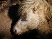 Miniature horse. Close up stock images