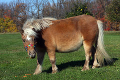 Miniature Horse. Standing on grass in morning sun Royalty Free Stock Images