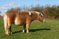 Miniature Horse. Standing on grass in morning sun Stock Photos
