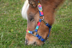 Miniature Horse. Feeding on grass in morning sun close-up Royalty Free Stock Photography