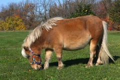 Miniature Horse. Feeding on graas in afternoon sun Stock Images