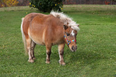 Miniature Horse. Standin on grass on fall day Stock Photos