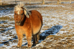Miniature Horse. Standing in late afternoon sun Stock Photography