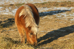 Miniature Horse. Feeding in afternoon sun head down Royalty Free Stock Photography